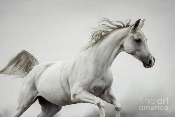 Photograph - Galloping White Horse by Dimitar Hristov