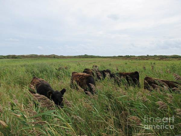 Galloway Cows On Texel North Holland Art Print