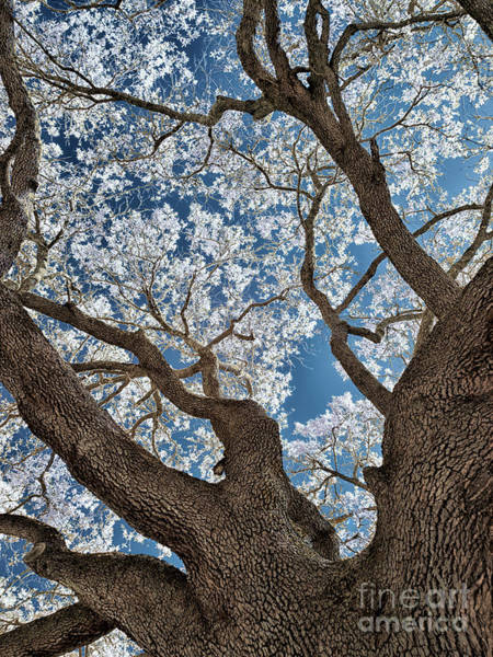 Royal Oak Photograph - Galveston Live Oak In Infrared by Norman Gabitzsch