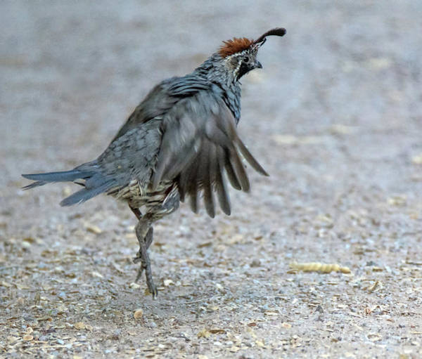 Photograph - Gambel's Quail 6702-081819 by Tam Ryan