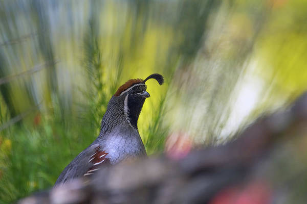 Photograph - Gambel's Quail 8388-042519 by Tam Ryan