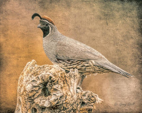 Photograph - Gambel's Quail Digitized  by Gerry Sibell