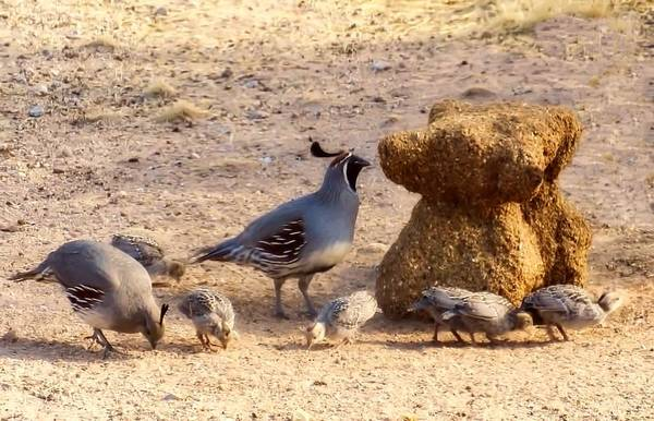 Photograph - Gambel's Quail Family by Judy Kennedy