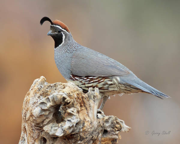 Photograph - Gambel's Quail by Gerry Sibell
