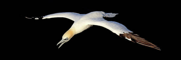Photograph - Gannet In Flight. 3.1 by Grant Glendinning