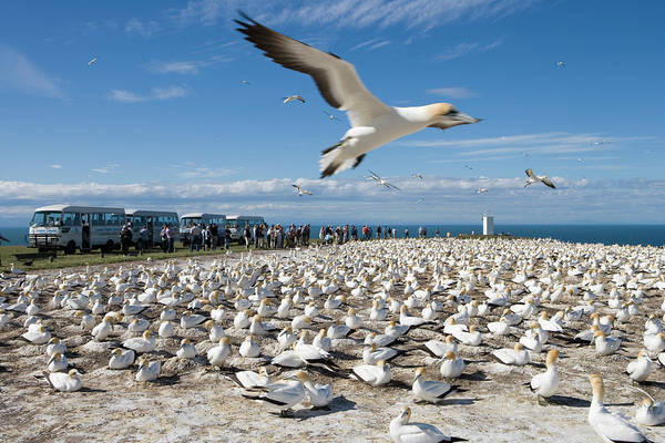 Famous People Photograph - Gannet Safari At Cape Kidnappers Gannet by Holger Leue
