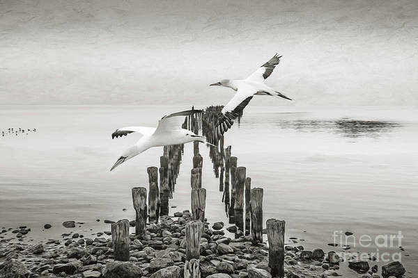 Wall Art - Photograph - Gannets Gliding Bw by Laura D Young