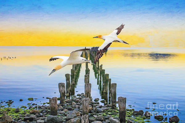 Wall Art - Photograph - Gannets Gliding by Laura D Young