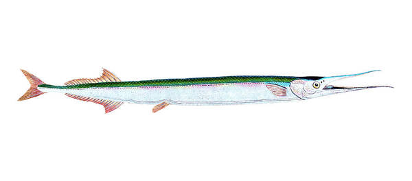 Drawing - Gar Fish by David Letts