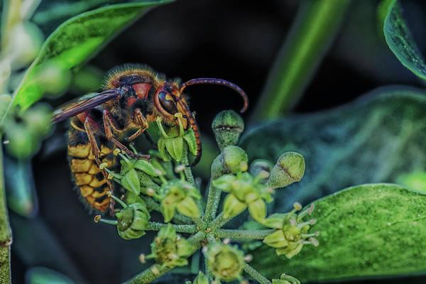 European Hornet Photograph - Garden Life Part Three by Hans Zimmer