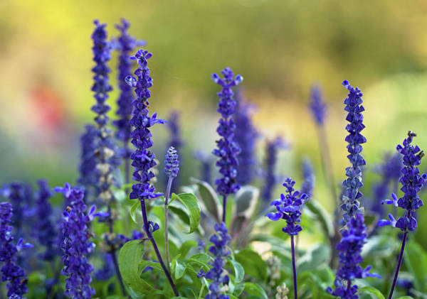 Purple Sage Photograph - Garden Of Salvia Flowers by Mary Smyth