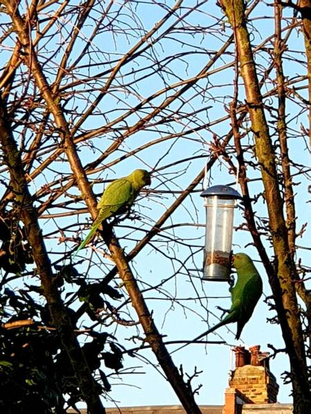 Photograph - Garden Parakeets by Tony Murtagh