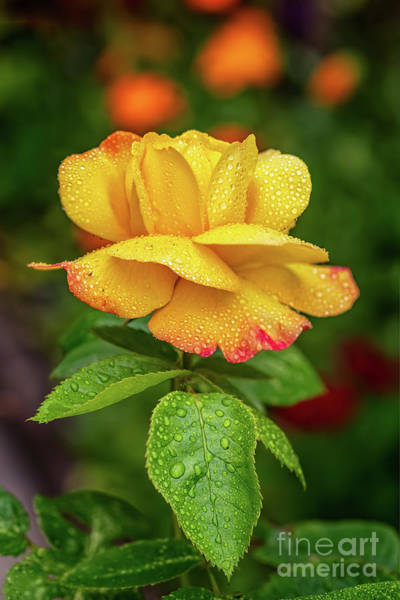 Photograph - Garden Rose by Adrian Evans