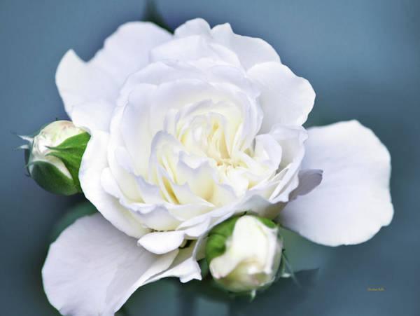 Photograph - Garden Rose by Christina Rollo