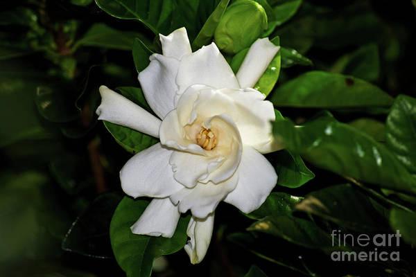 Photograph - Gardenia Bloom by Patti Whitten