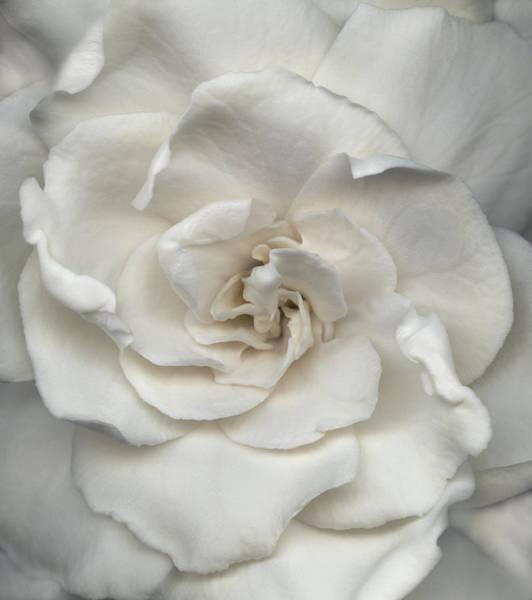 Petal Photograph - Gardenia Gardenia Jasminoides, Close-up by John Grant