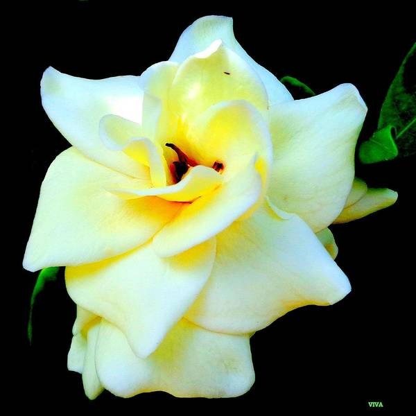 Photograph - Gardenia In Sunlight And Shadow by VIVA Anderson