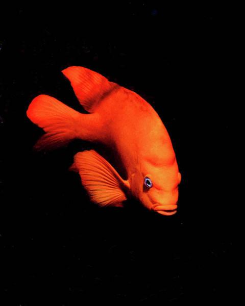 Photograph - Garibaldi Fish On Black Background by Brent Barnes