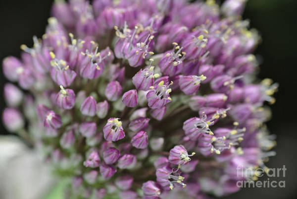Photograph - Garlic Flower In Bloom by Joy Watson