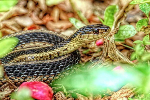 Wall Art - Photograph - Garter Snake At Ringwood Manor, Ringwood, New Jersey Series by Geraldine Scull