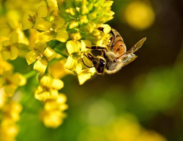 Gathering Pollen Art Print