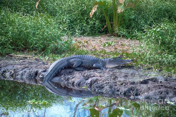 Photograph - Gator River Reflection by Judy Hall-Folde