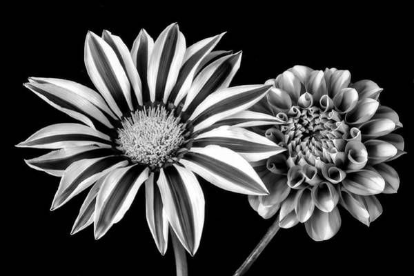 Softly Photograph - Gazania And Dahlia Black And White by Garry Gay