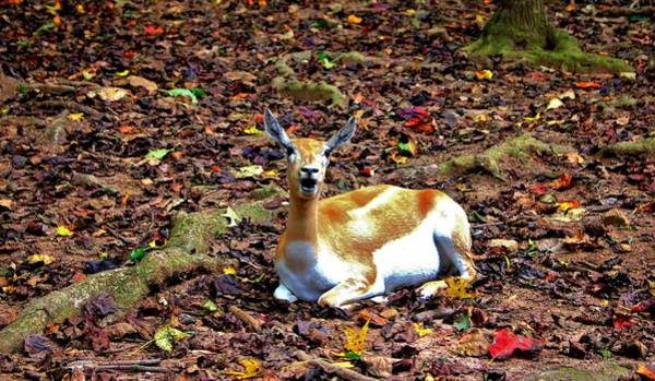 Photograph - Gazelle Enjoying Autumn by Cynthia Guinn