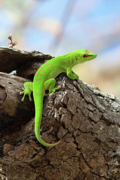 Gecko Wall Art - Photograph - Gecko Géant De Madagascar  Giant Green by François Dorothé