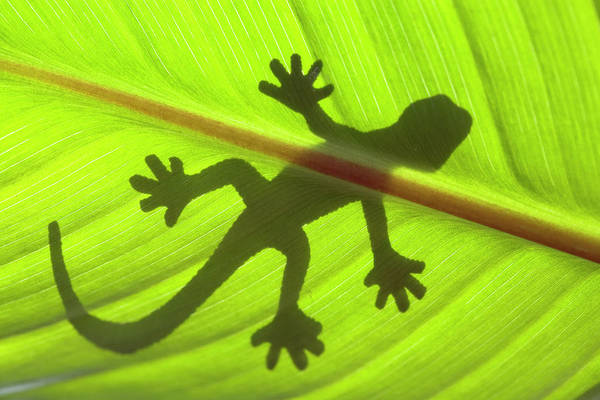 Shadow Photograph - Gecko by Nick M Do