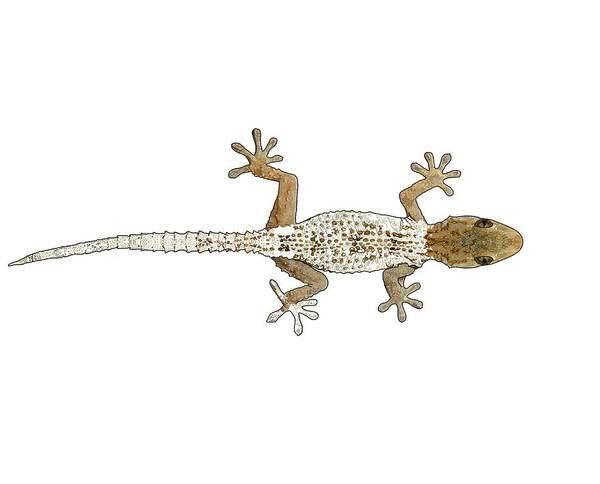 Drawing - Gecko Progress 2 by Joan Stratton