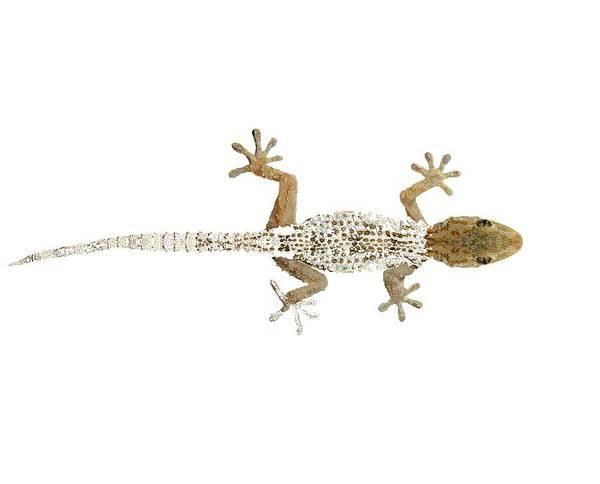 Drawing - Gecko Progress 1 by Joan Stratton