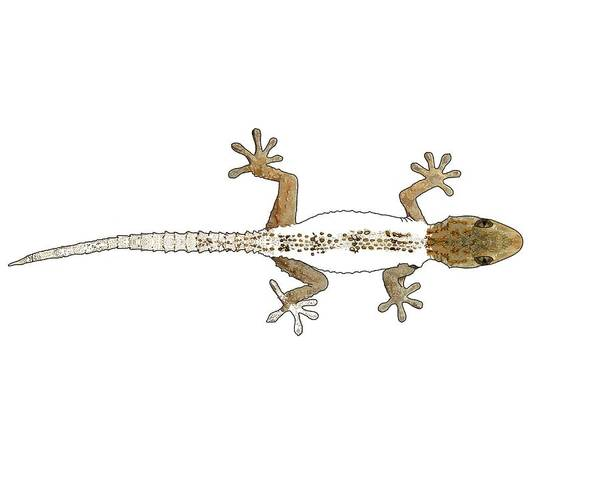 Drawing - Gecko Progress 3 by Joan Stratton