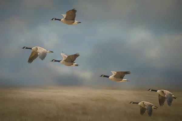 Photograph - Geese, Coming In For A Landing by Cindy Lark Hartman