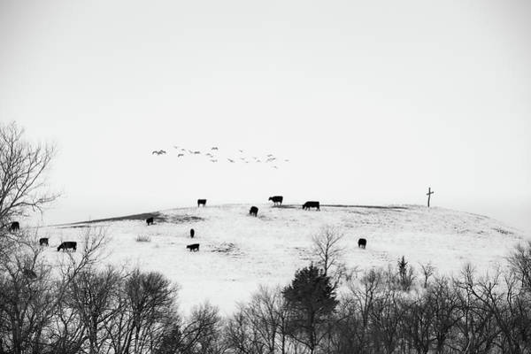 Photograph - Geese Cross Cattle by Jeff Phillippi