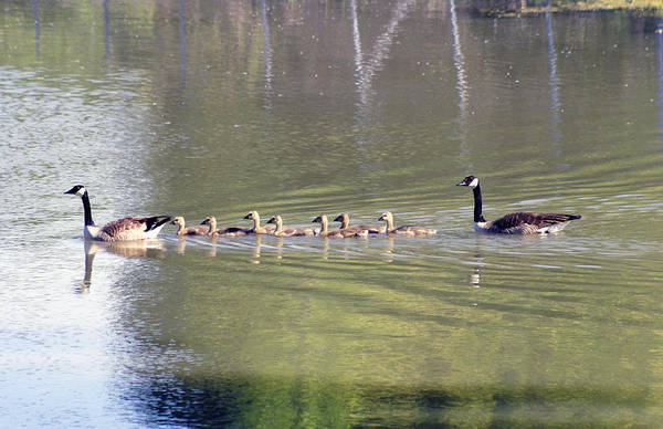 Photograph - Geese Family by Anthony Jones