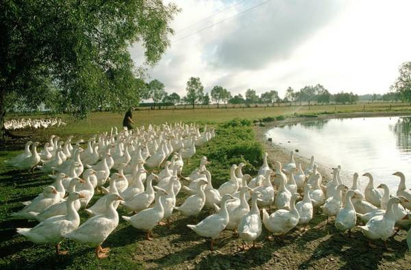 Photograph - Geese Farming In Poland In 1979 - by Gerard Sioen