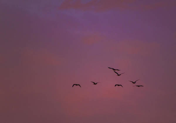 Photograph - Geese In A Pink Sky by Jonathan Hansen