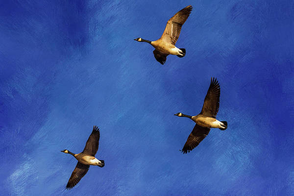 Photograph - Geese In Flight by Allin Sorenson