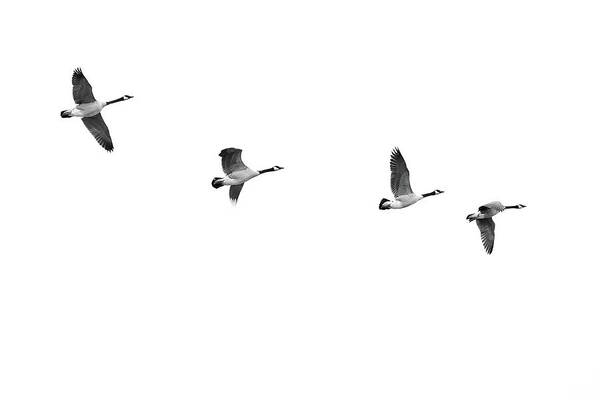 Photograph - Geese In Flight by Jim Hughes