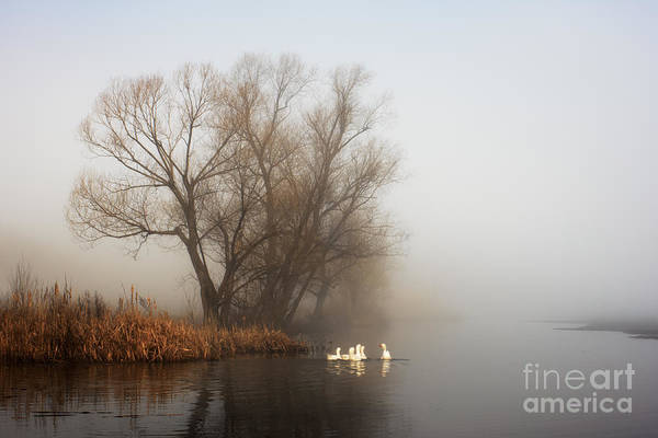 Geese In Fog. Flock Of Birds Swims Near Art Print