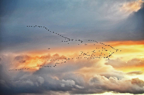 Photograph - Geese Make The V - Line by Chance Kafka