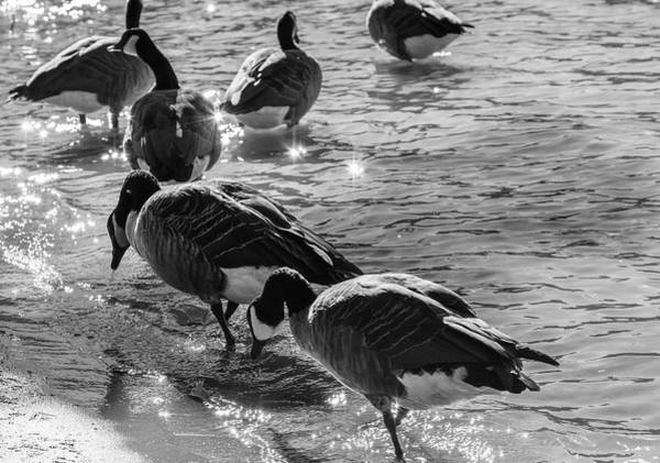 Photograph - Geese On Shore  by Keith Smith