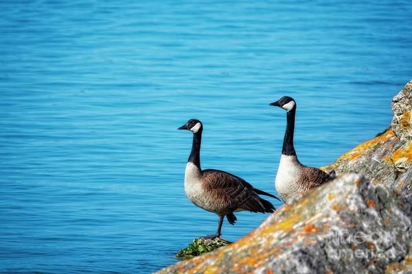 Wall Art - Photograph - Geese On The Edge by Mary Machare