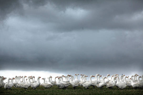 Topix Photograph - Geese Seen In Fields As They Are by Christopher Furlong