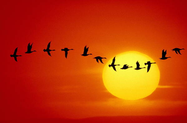 Silhouette Photograph - Geese Silhouetted In Flight Across Sun by Mitchell Funk