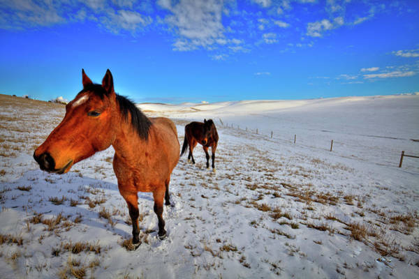 Wall Art - Photograph - Geldings In The Snow by David Patterson