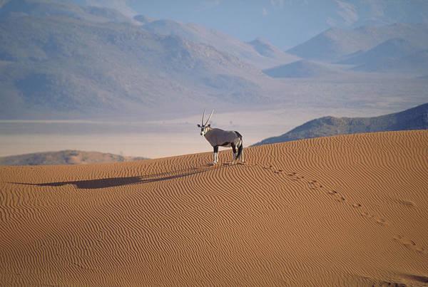 Wall Art - Photograph - Gemsbok Antelope by David Hosking