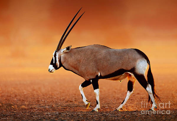 Wall Art - Photograph - Gemsbok   Oryx Gazella On Dusty Desert by Johan Swanepoel