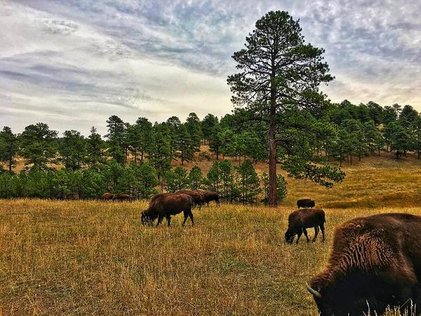 Photograph - Genesee Bison Herd by Dan Miller